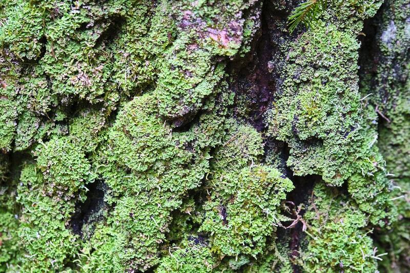Tree is covered with moss which damages the tree and kills it by allowing it to develop fungal diseases and infections. color. Tree is covered with moss which stock image