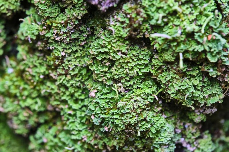 Tree is covered with moss which damages the tree and kills it by allowing it to develop fungal diseases and infections. color. Tree is covered with moss which royalty free stock photography