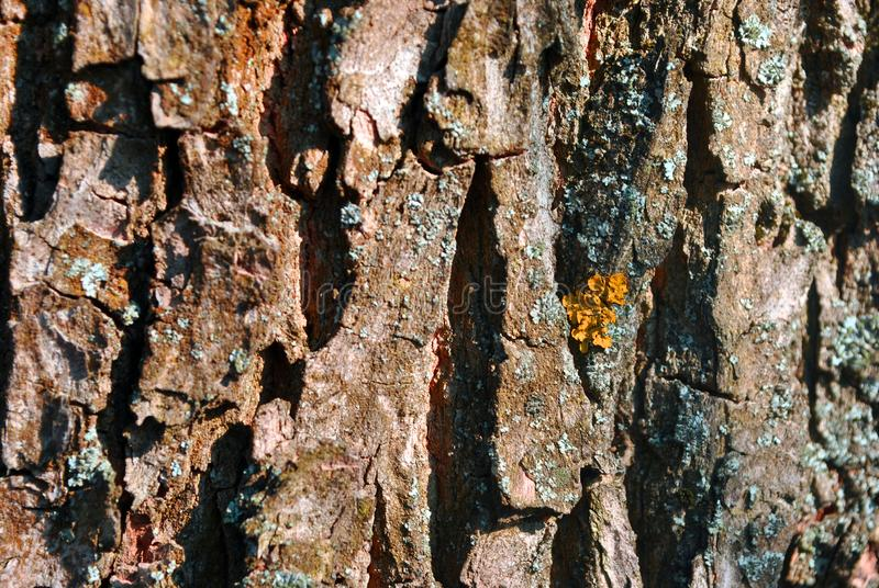 Tree cracked old brown bark trunk with yellow moss, horizontal background texture close up. Detail royalty free stock photo