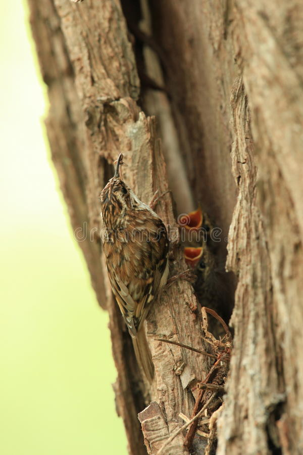 Download Tree Creeper. Stock Images - Image: 12547384