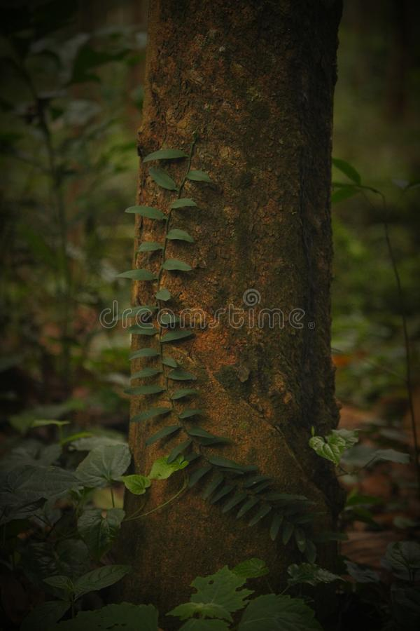 Tree and a Creeper royalty free stock images