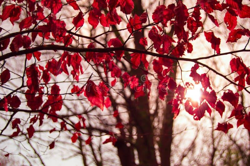 Tree With Crimson Autumn Leaves Free Public Domain Cc0 Image