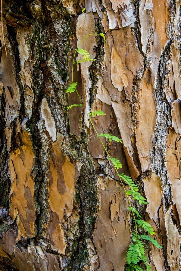 Tree crust close up royalty free stock photo