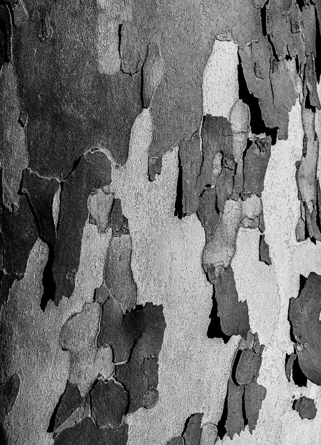 Tree crust is falling apart. From a tree royalty free stock photos