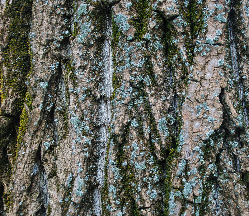 Tree Crust Texture. Caption of colored tree crust that can be used for texturing royalty free stock photos