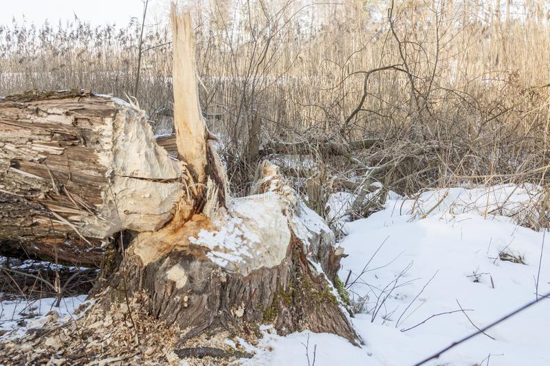 Tree cut by beavers - Poland. Big tree cut by beavers in Poland royalty free stock photo