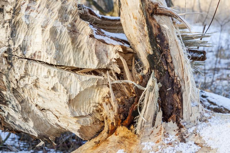 Tree cut by beavers - Poland. Big tree cut by beavers in Poland royalty free stock photos