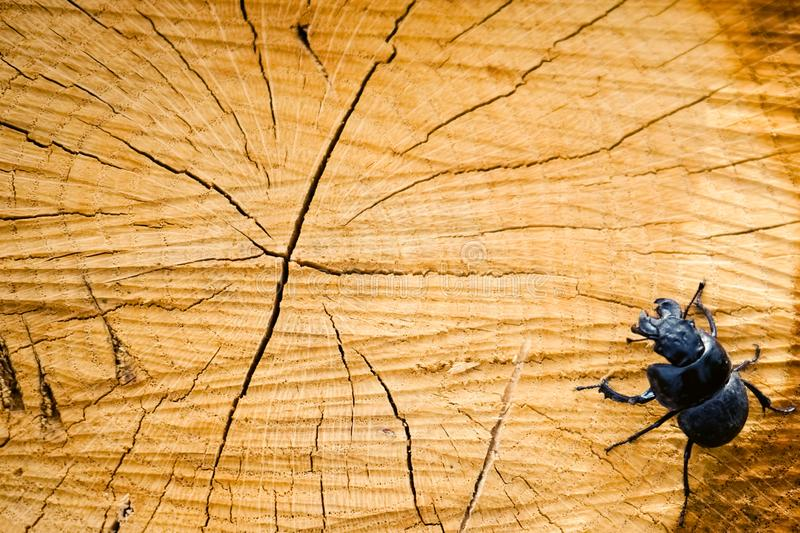 Tree cut with a black rhinoceros beetle sitting in the corner of the frame stock photography