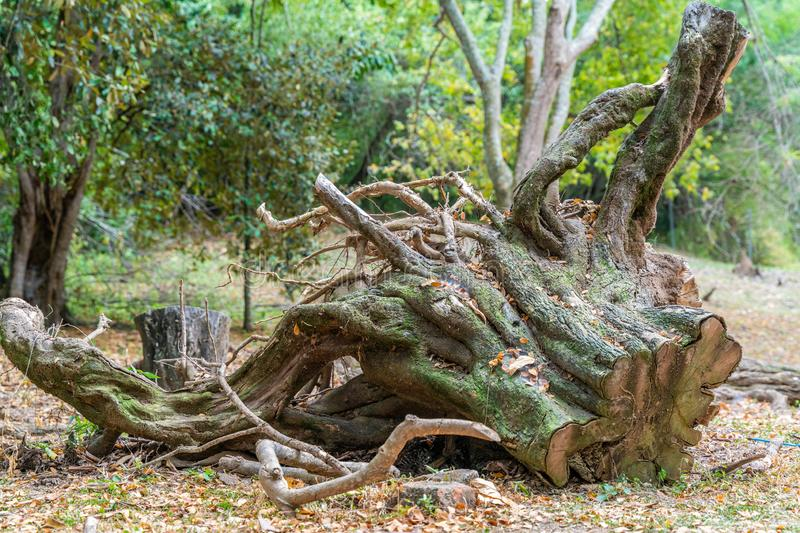 Tree cut in the middle of a forest, deforestation royalty free stock photography
