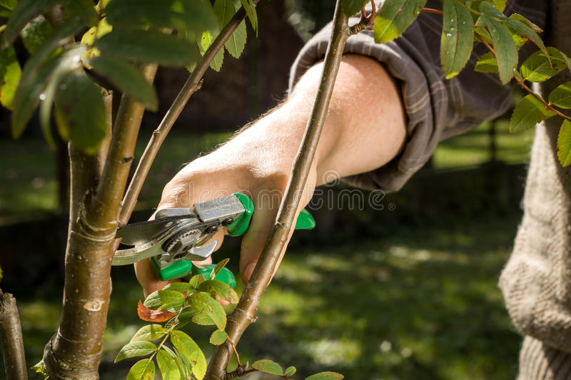 Tree cutting with a secateurs on the huge garden. Tree cutting with a green secateurs on the huge garden royalty free stock image