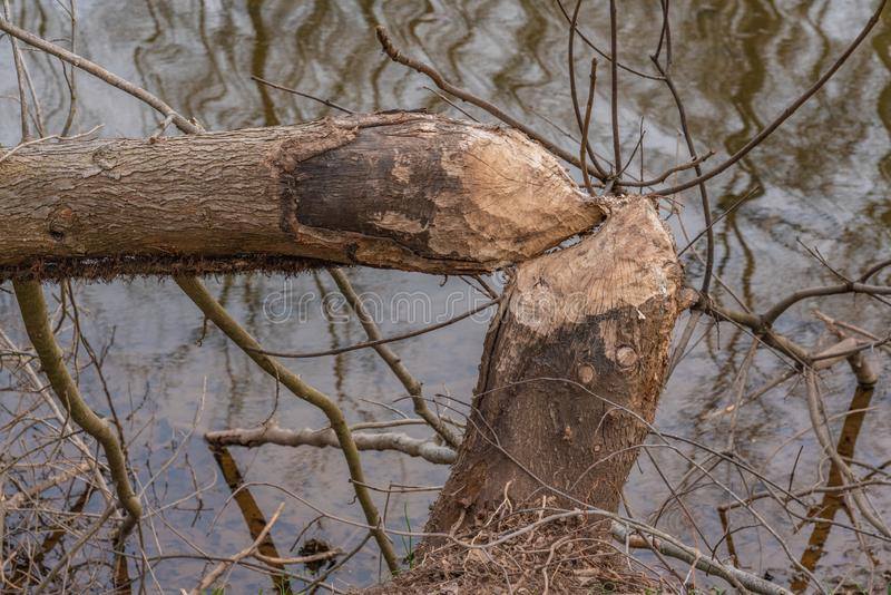 Tree damage from beavers gnawing the trunk in two. Tree damage from beavers showing trunk  severed in two pieces along the water royalty free stock image
