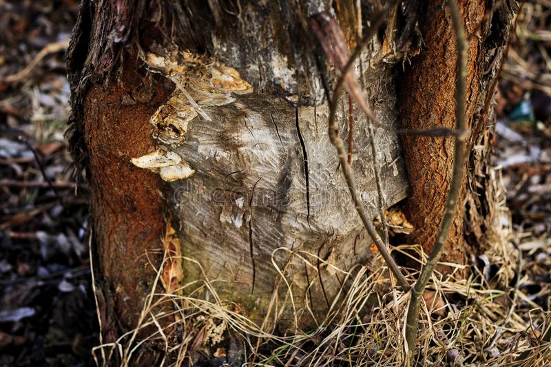 Beavers work. The tree is damaged by beavers royalty free stock photography