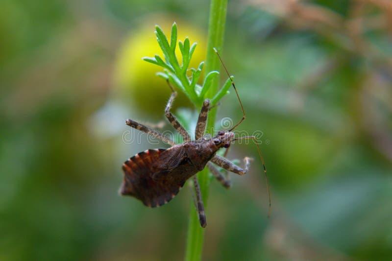 Tree damsel bug. Himacerus apterus sitting on a chamomile leaf, close-up royalty free stock images