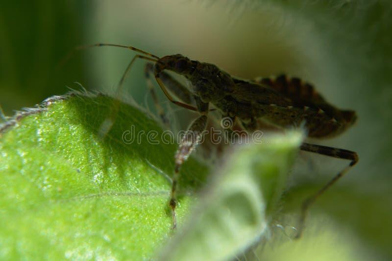 Tree damsel bug. Himacerus apterus sitting on a sunflower leaf, close-up stock image