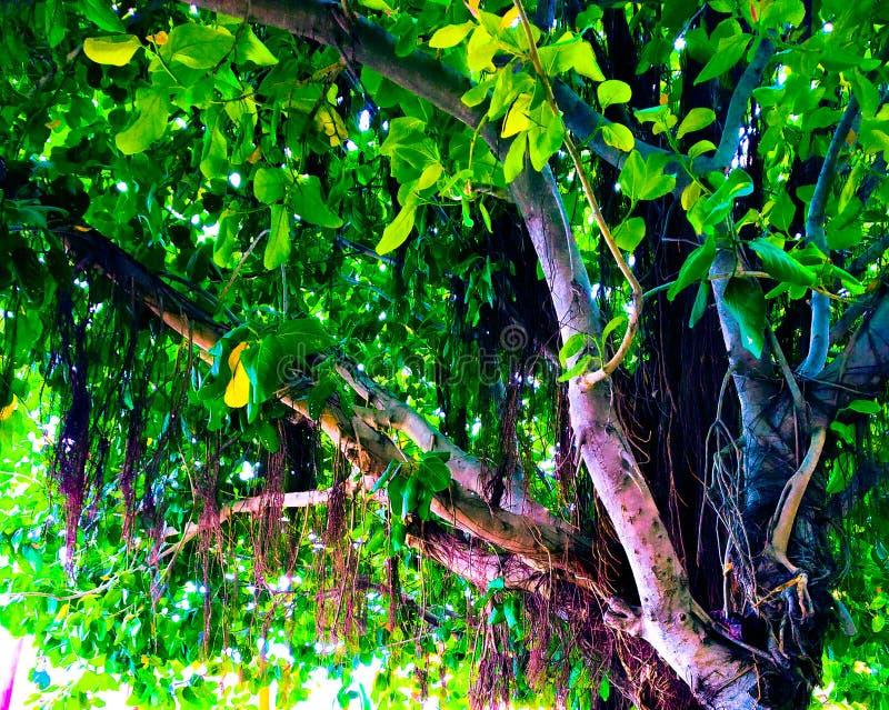 Tree& x27 del Banyan; ra?ces de apoyo de s imagen de archivo
