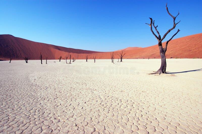 Tree in the desert - Deadvlei. Dry terrain, dead tree and red dune - Lack of water. Namibia, Deadvlei, Sossuvlei stock photo