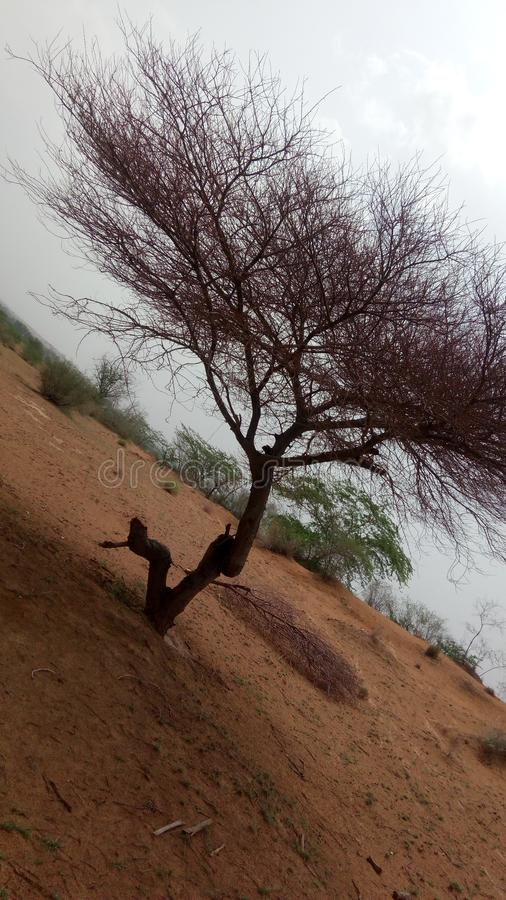 Tree in desert royalty free stock images
