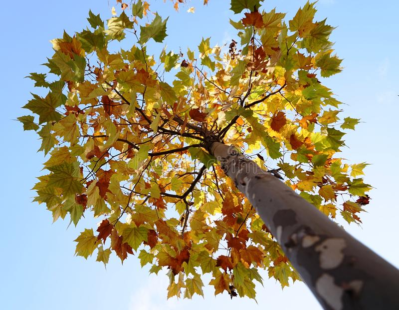 A tree with different colorful leaves in fall royalty free stock images