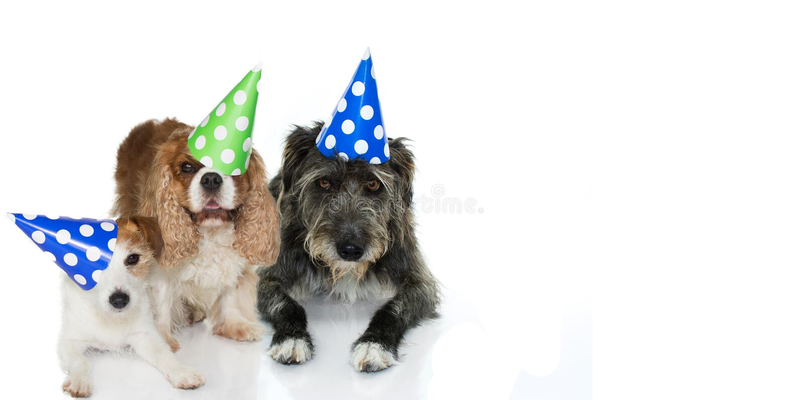 TREE DOGS CELEBRATING A BIRTHDAY PARTY WEARING A BLUE, GREEN AND royalty free stock photos