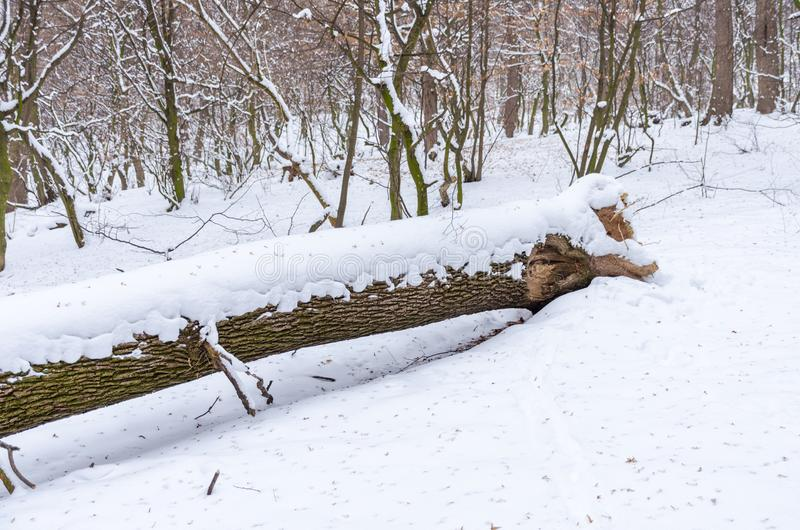 Tree down in a winter snowy forest. Winter nature landscape outdoor background stock image