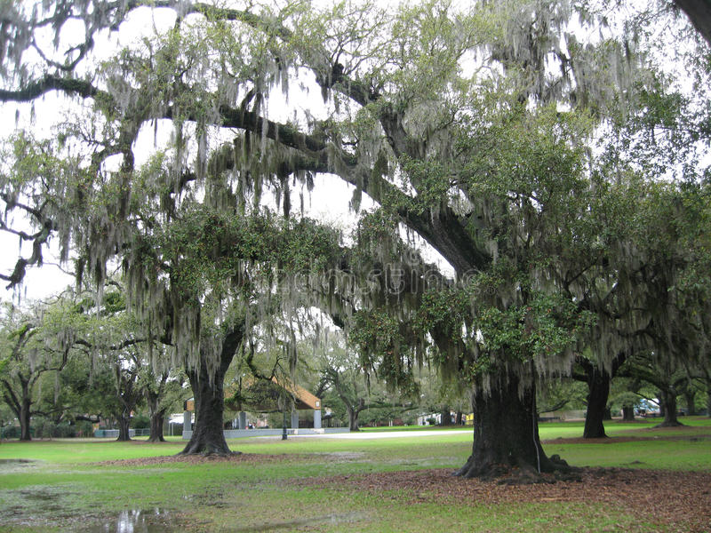 Download Tree Dripping With Spanish Moss Stock Image - Image: 99240473
