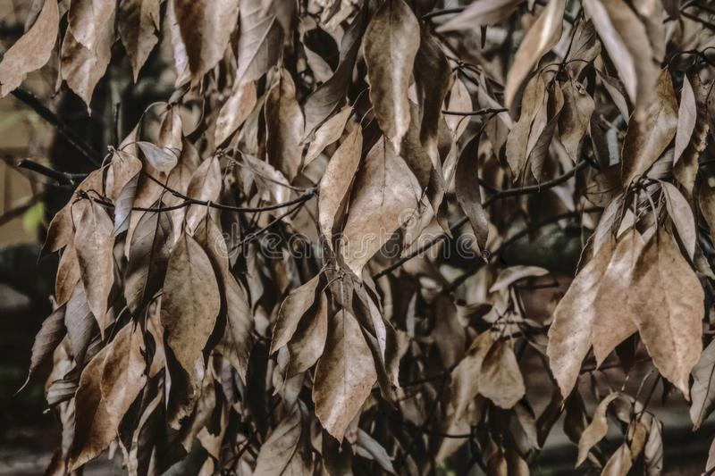 Tree with dry leaves late evening royalty free stock image