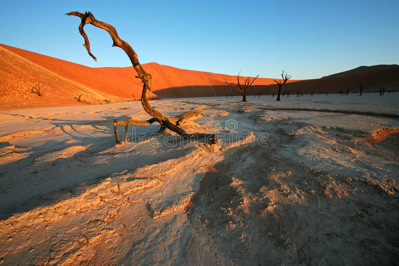 Tree and dune, Sossusvlei, Namibia royalty free stock images