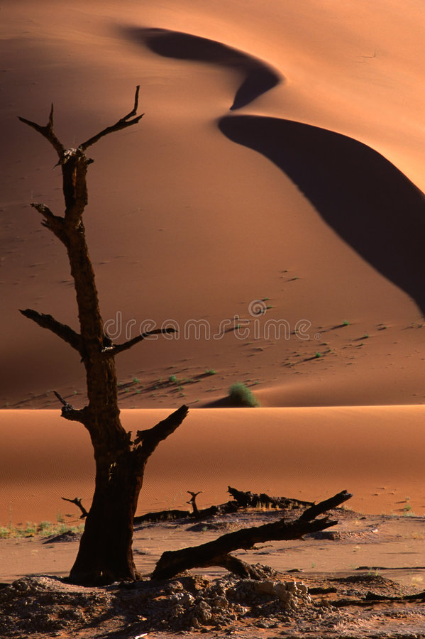 Tree and dune, Sossusvlei, Namibia stock images