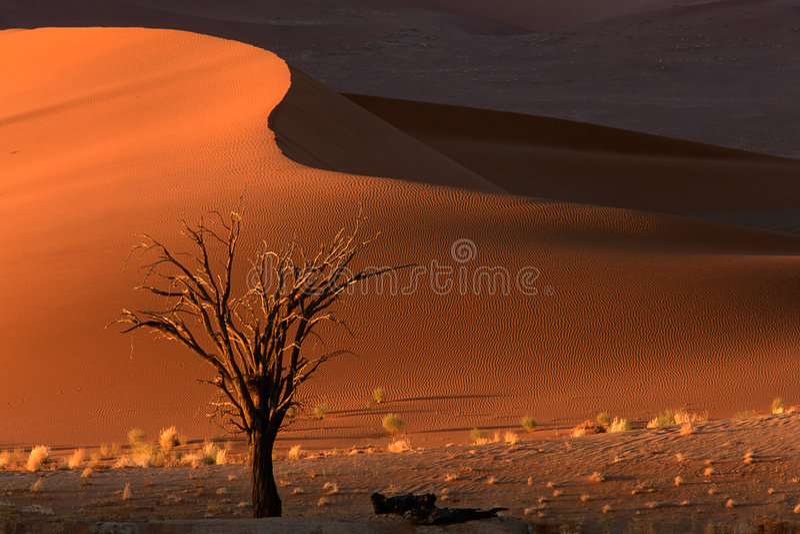 Tree and dune, Sossusvlei, Namibia stock photography