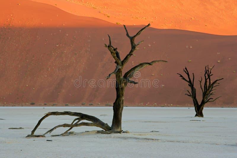 Tree and dune, Sossusvlei, Namibia stock photo