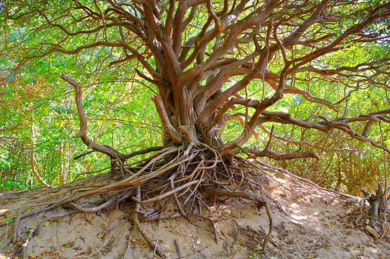 Tree in the dunes on the island Hiddensee. The island Hiddensee, tree in the dunes stock photo
