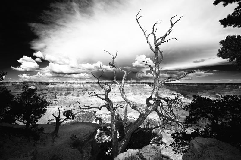 Tree On The Edge Of The Grand Canyon Royalty Free Stock Photos
