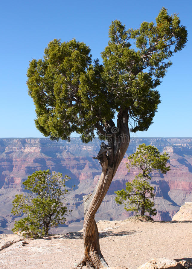 Download Tree On The Edge Of The Grand Canyon In Arizona Stock Image - Image: 11448211