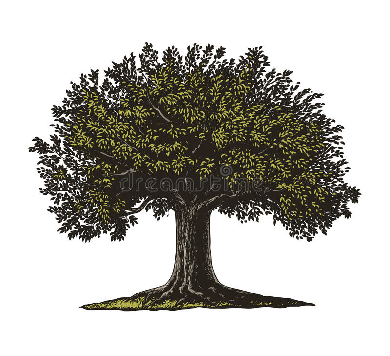 Tree in engraving style. Vector illustration of a fruit tree in vintage engraving style. , grouped, transparent background vector illustration