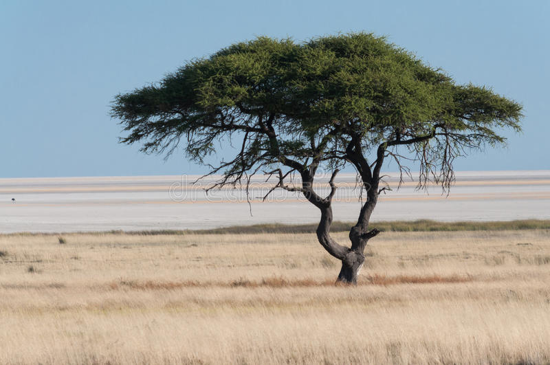 Tree at Etosha Pan. In the national park in Namibia stock photos