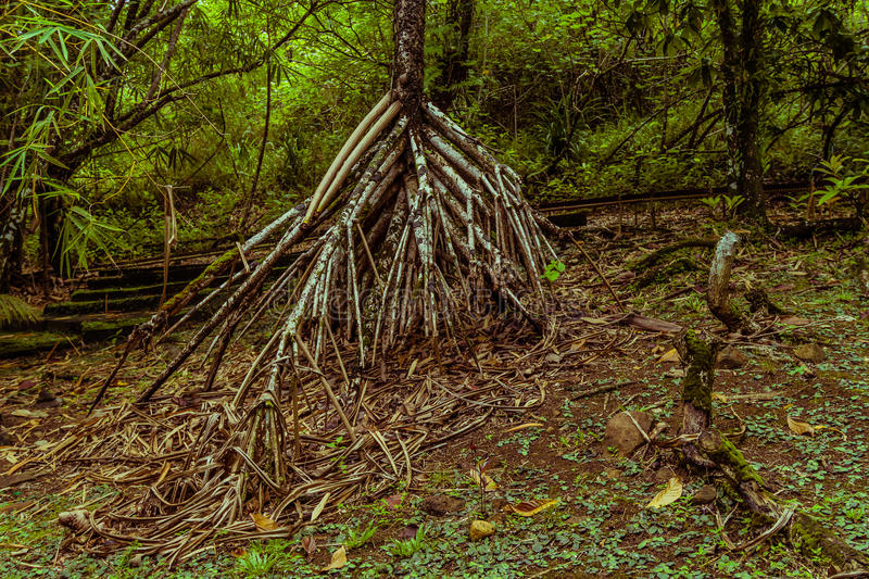 Tree with exposed roots in forest. In Guam with lush green foliage in background royalty free stock images