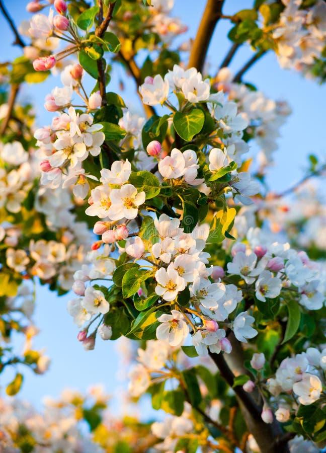 tree för äppleblomningclose upp arkivbilder
