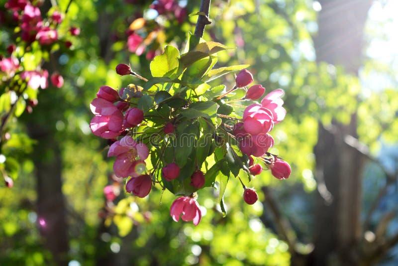 tree för äppleblomningclose upp Den härliga rosa färgen blommar i solig vårdag arkivbilder