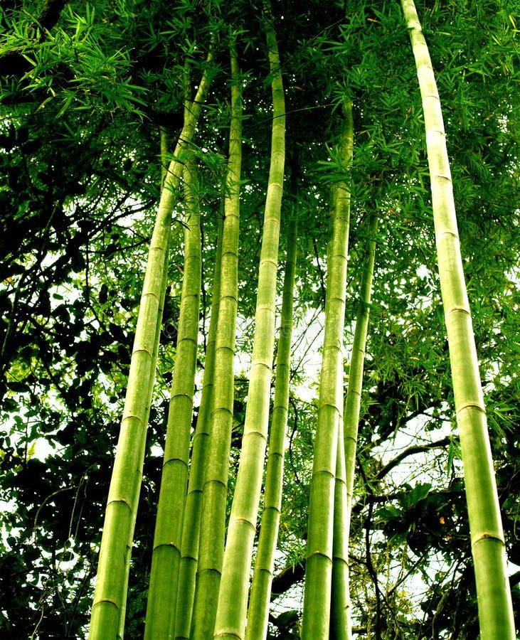 tree för 01 bambu royaltyfri bild