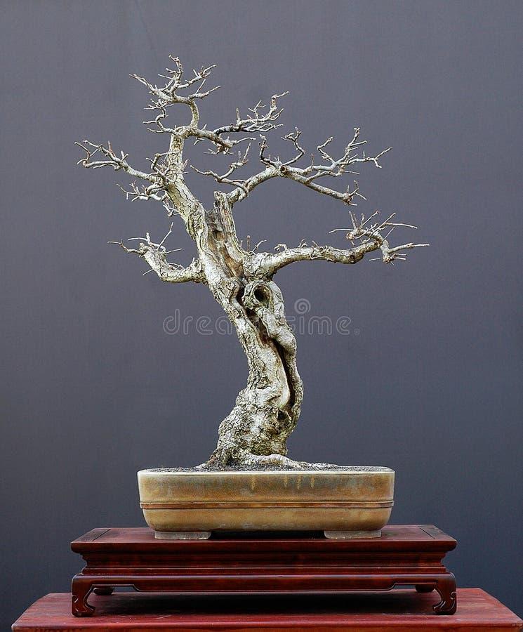 tree för 2 bonsai royaltyfria bilder