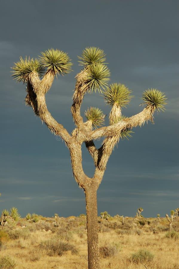 tree för 2 joshua arkivbilder