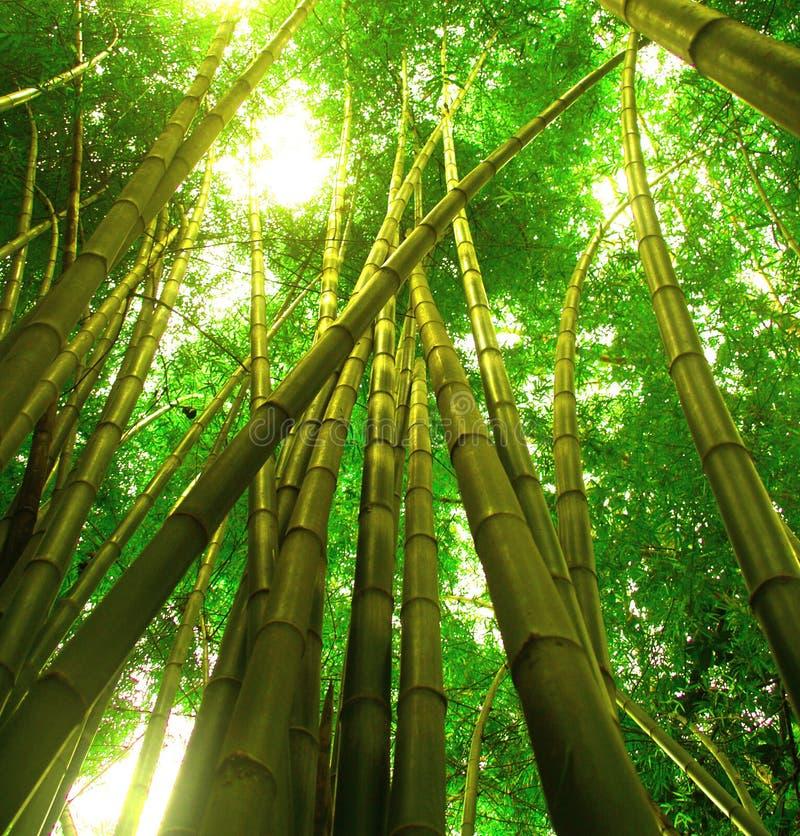 tree för 3 bambu arkivbilder