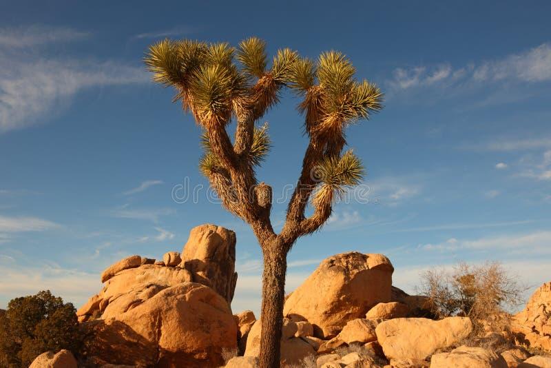 tree för 5 joshua royaltyfria foton