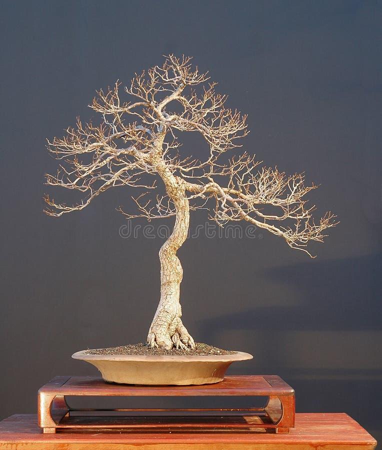 tree för 8 bonsai royaltyfria bilder