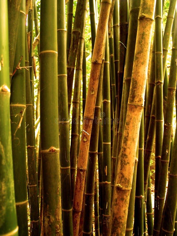 tree för 89 bambu fotografering för bildbyråer