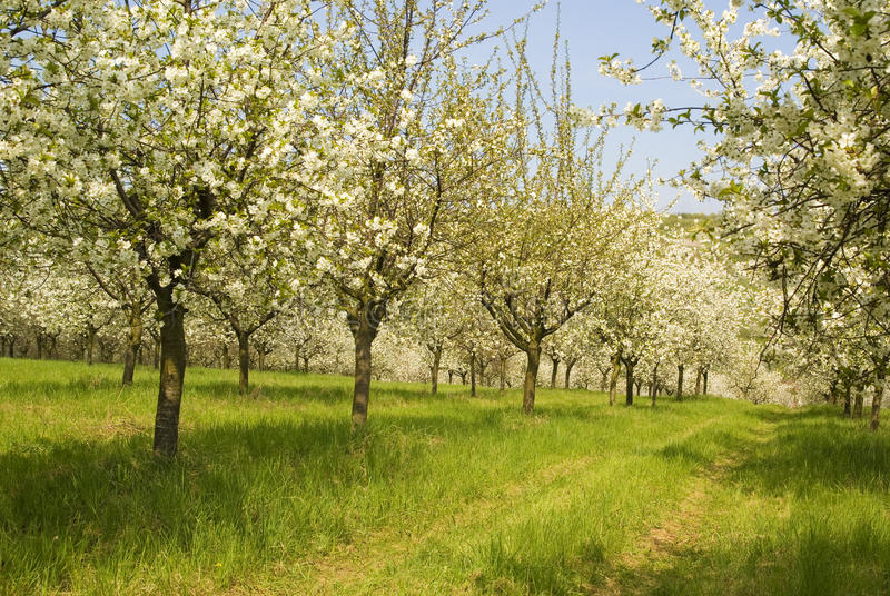tree för Cherryfruktträdgårdfjäder royaltyfria foton