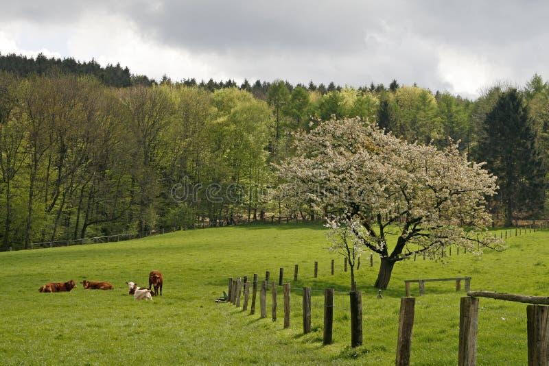 tree för Cherrygermany fjäder fotografering för bildbyråer