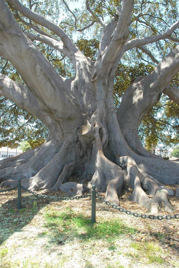 tree för fig 2 arkivbilder