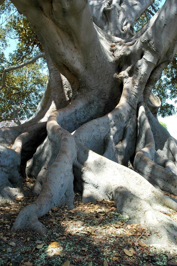 Download Tree för fig 3 fotografering för bildbyråer. Bild av leaves - 38525