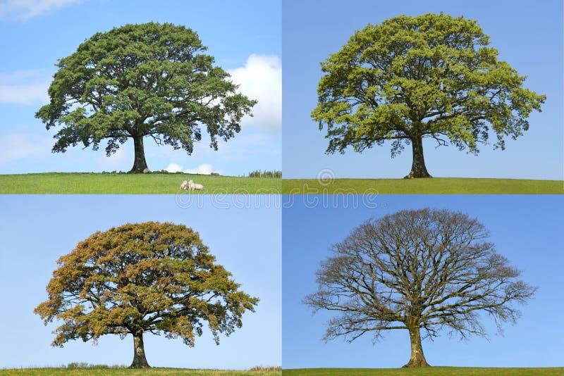 tree för fyra oaksäsonger royaltyfri foto